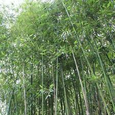 50 Giant Japanese Timber Bamboo Seeds Privacy Climbing Garden Seed 372 US SELLER