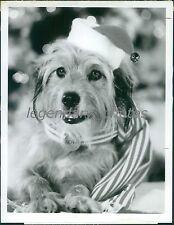 1978 Benji Dog Dressed Up for Christmas Original News Service Photo