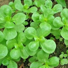 Herb Purslane Green - 3000 seeds
