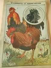 Les Coqs Wyandotte et Rhode Island Print