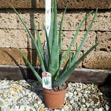 Echte Aloe Vera,medizinisch,ca.60cm, 1 sehr große Pflanze