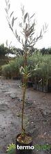 Pianta di olive olivo Albero ulivo ulivi Carolea