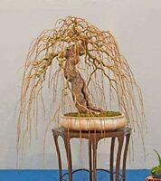 Rare Golden Curls Willow Tree Cutting - Live Tree Plant - Excellent Bonsai