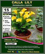 CALLA LILY- (Zantedeschia hybrida)  YELLOW -  15x  SEEDS