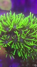 Ultra gsp Coral FRAG Live Coral SPS LPS ULTRA