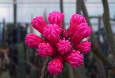 50 Arrojadoa reflexa cactus Seeds no ariocarpus Flowers Korn Semi Seeds