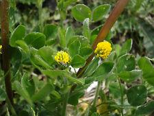Hopfenklee 1500 Samen Gelbklee - Gründünger - Bienenweide Gelber klee