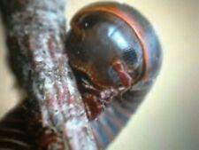 american giant millipedes (narceus americanus) 3 sub adults