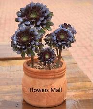 100 Aeonium arboreum 100PCS The World's Rare Flowers Seeds .Atropureum Seed