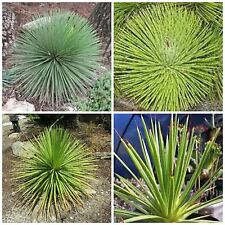 rubra Samen Sukkulenten Kaktus NO bunt gemischt 20 Agave stricta var