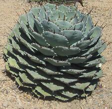 Agave Parrasana (5 SEEDS) Rare Succulent Samen Korn Semi Graine 種子 씨앗 Семена