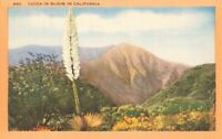 Postcard Yucca in Bloom in California
