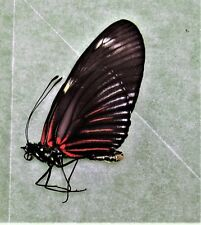 Bleeding Heart Butterfly Heliconius doris aristomache Folded FAST FROM USA