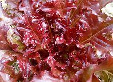 Red Salad Bowl Lettuce Seeds- Heirloom- 1,000+ Seeds   $1.69 Max Shipping/order