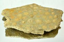 Ediacaran Precambrian fossil Medusoid Nemiana simplex plate #11663 UKRAINE