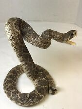 Arizona Diamondback Baby Rattlesnake Mount, Taxidermy
