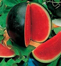 WATERMELON SUGAR BABY Early Maturing 75 DAYS Sweet 20+ Seeds COMBINED SHIPPING