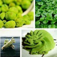 Wasabi Samen 100 Stück Sämereien Japanischer-Meerrettich Gemüse Z8Q6 O3A0 P I0D8