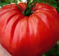 Tomatensamen Bulgarische Fleisch Tomate Riesen Saatgut Samen Top Qualität