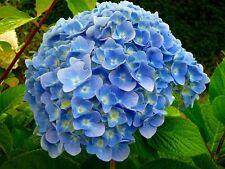 "'Nikko Blue' Hydrangea macrophylla 4"" Pot Gift Holiday Rare Non GMO Hardy Mature"