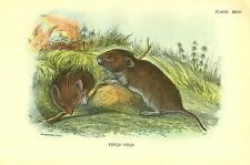 Rare 1896 Antique Mammal Print ~ Field Vole ~ Excellent Details!
