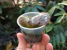 Begonia picturata - a beautiful rare tropical species (terrarium plant)
