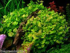 Cardamine Lyrata - Live Aquarium Freshwater Plants Japan Chinese ivy Java Moss