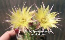 Echinopsis Chamaecereus Hybride Gelber Franz 1