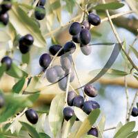 olive, OLIVE TREE, fruit, olea europaea, 15 SEEDS! groco US USA#
