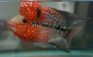"""4.5"""" Solid Red Pearl Flowerhorn Cichlid Male Freshwater Live Tropical Fish."""