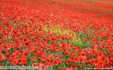 Papaver rhoeas - Red Common Field Poppy - Wild Flower 50,000 Seeds Bulk BN