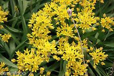 4 Allium Pastel Mixte Jardinage Ampoule beau printemps été fleur vivace