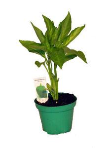 Grüner Paprika,frische Paprikapflanze,für Küche und Garten,grüne Paprika Pflanze