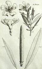 Nerion, Laurier rose Plante Botanique Geoffroy Garsault Gravure XVIIIème