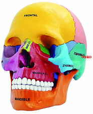 4D Puzzle Didactic Exploded Beauchene Skull Colorful Human 1:2 Anatomy 3D Model