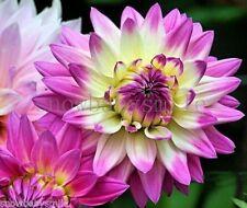 200 Dahlia Pinnata Seeds Dinnerplate Mixed Colors Garden Cut Flowers Bulk Fresh