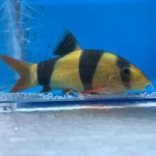 Clown loach 3.5-4� in length - live tropical fish