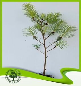 Pinus pinea (Umbrella pine) - Plant
