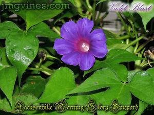 Violet Blast Japanese Morning Glory 6 Seeds