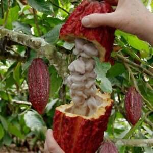 Fresh Cocoa Seeds row coco Theobroma Cocoa bean