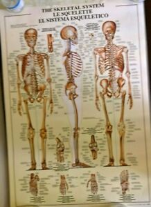 Vintage Poster of 'The Skeletal System' Printed in Italy 1988