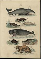 Whales Seal Platypus Walrus Otter scarce 1861 antique hand color nature print