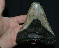 Véritable Dent fossile de requin CARCHARODON MEGALODON *** A Voir ***