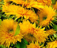 SUNFLOWER SANTA FE Helianthus Annuus - 100 Bulk Seeds