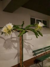 Pitaya Dragon Fruit tris 3 x piante 20-30cm rossa bianca gialla + guida