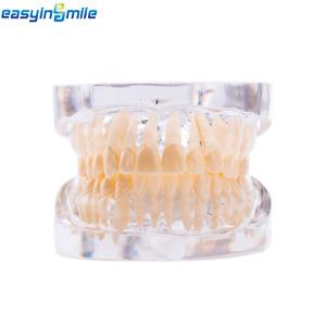 EASYINSMILE Adult Standard Typodont Teach dental Demonstration Teeth Study Model