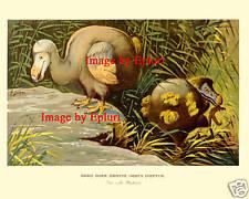 """Dodo Do Do Extinct Bird, German, """"Der Dronte"""", 1890"""