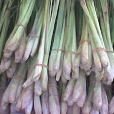 H062 Lemongrass East Indian x50 seeds Culinary Oriental Herb Essential Oil Aroma