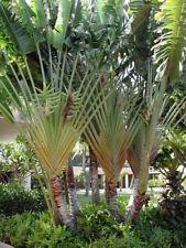 * PFLANZE * Phenakospermum guyannense, Ravenala, südamerik. Baum der Reisenden
