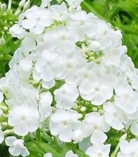 NEW!!    30+ FRAGRANT BRIGHT WHITE PHLOX FLOWER SEEDS / PERENNIAL